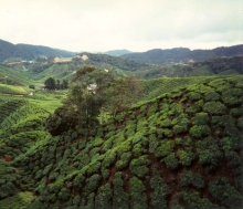 Malaysian Tea Fields